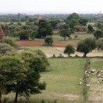 A herd of goats graze around the ancient temples of Bagan © Gemima Harvey 2012